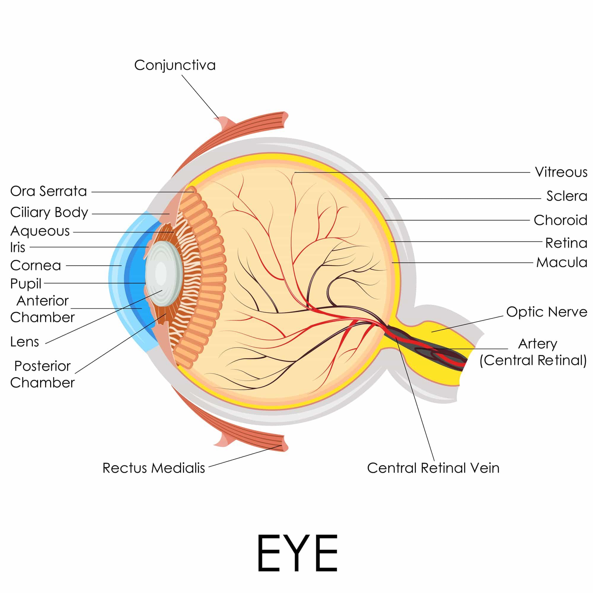 החלקים העיקריים של העין והתפקיד שממלא כל חלק בתהליך הראייה – אופטיקה יפעת