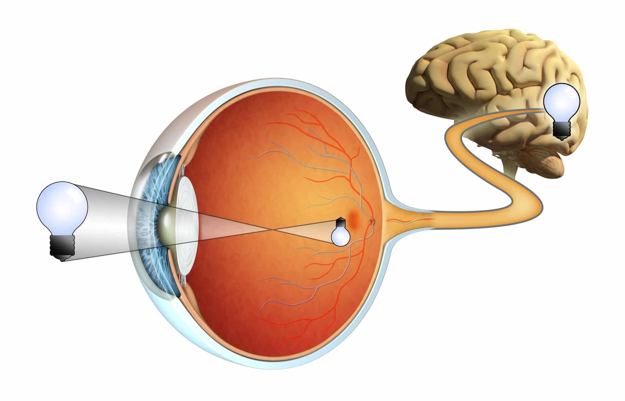 תפקידה של העין בתהליך הראייה – אופטיקה יפעת